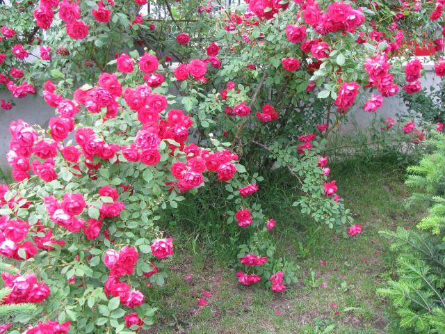 http://gradinavisata.files.wordpress.com/2010/05/35.jpg